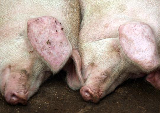 Черная корка на спине у поросенка (свиньи): кожные заболевания, короста, чем лечить в домашних условиях, народными методами - растения и огород