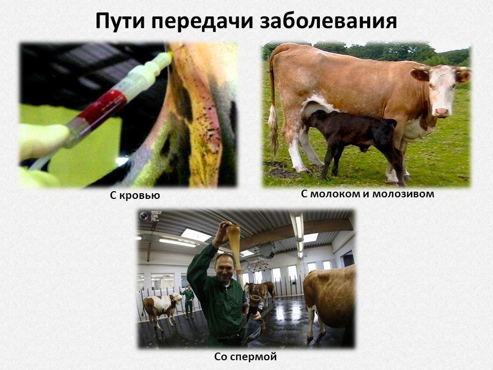 Можно ли пить молоко от больных лейкозом коров