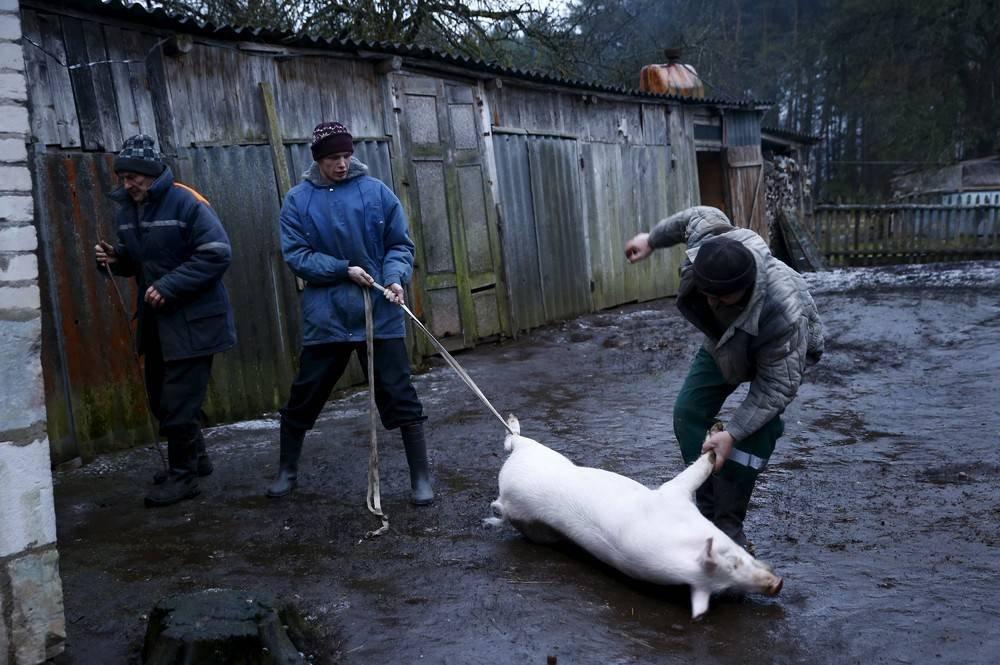 Забой свиней в домашних условиях, видеоинструкция, условия при забое