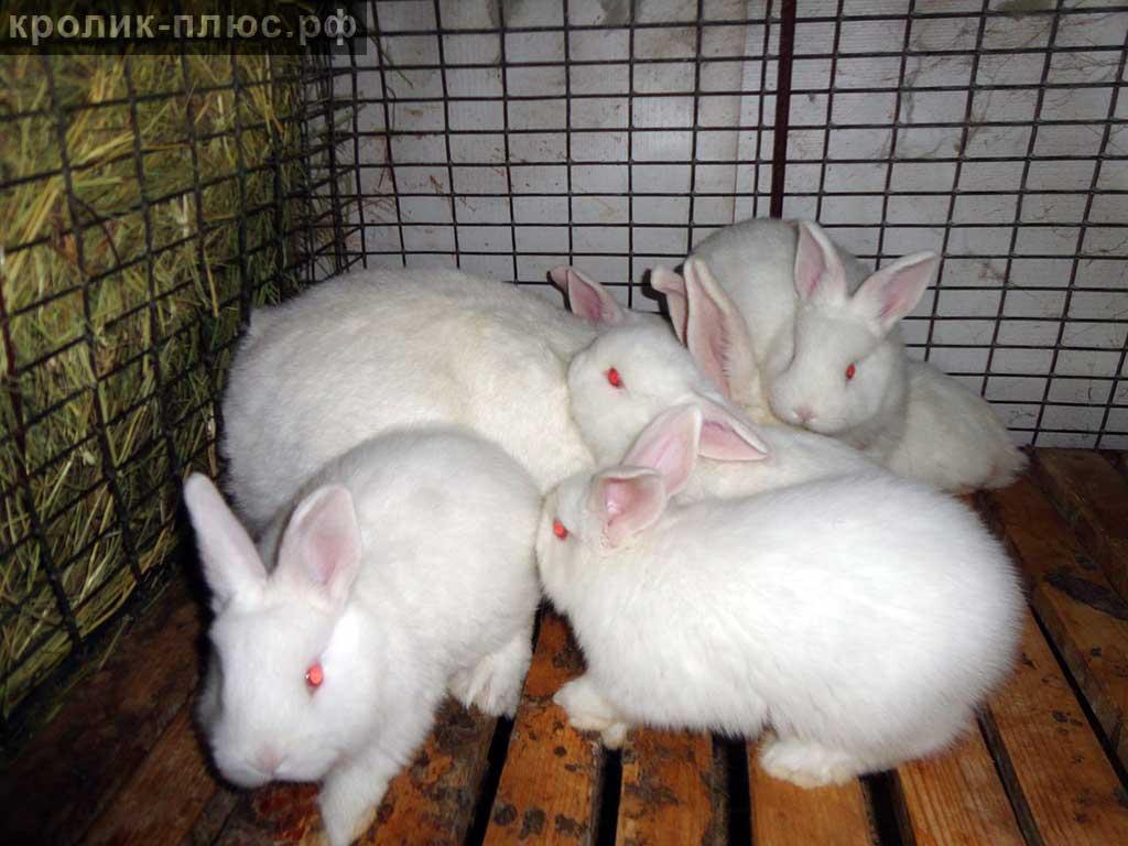 Кролики новозеландской породы: характеристика и разведение
