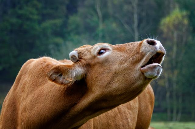 Нормальные показатели температуры у коров, правила измерения, возможные заболевания
