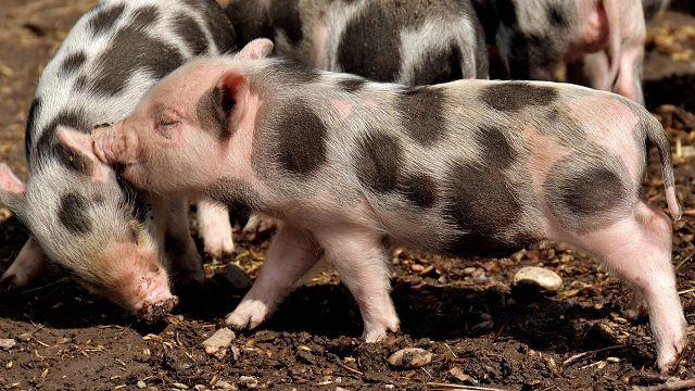 Болезни свиней: инфекционные и неинфекционные заболевания