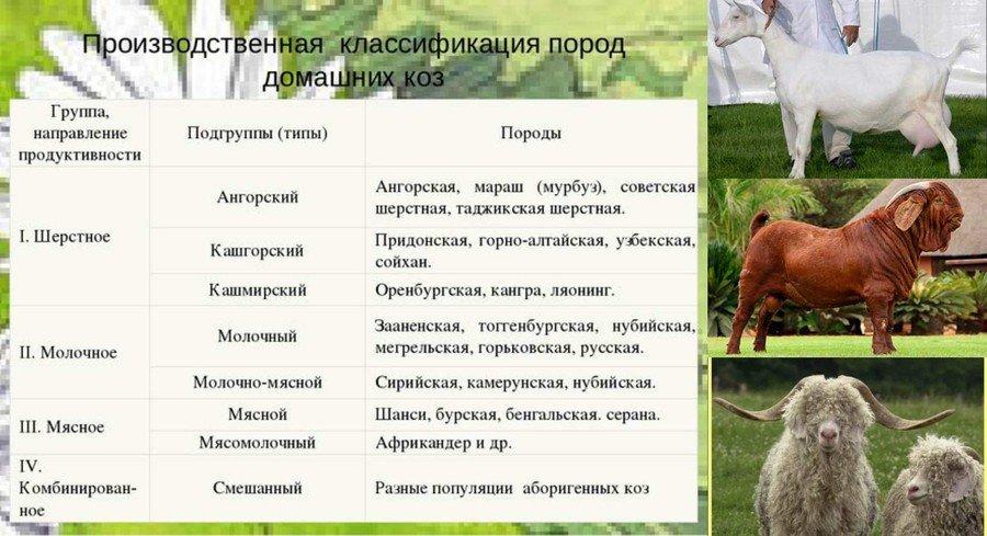 Пуховые козы – породы, типы, использование продукции