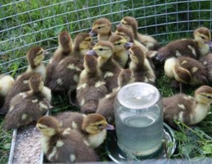 Муларды: выращивание в домашних условиях для начинающих, а также кормление и отзывы птицеводов