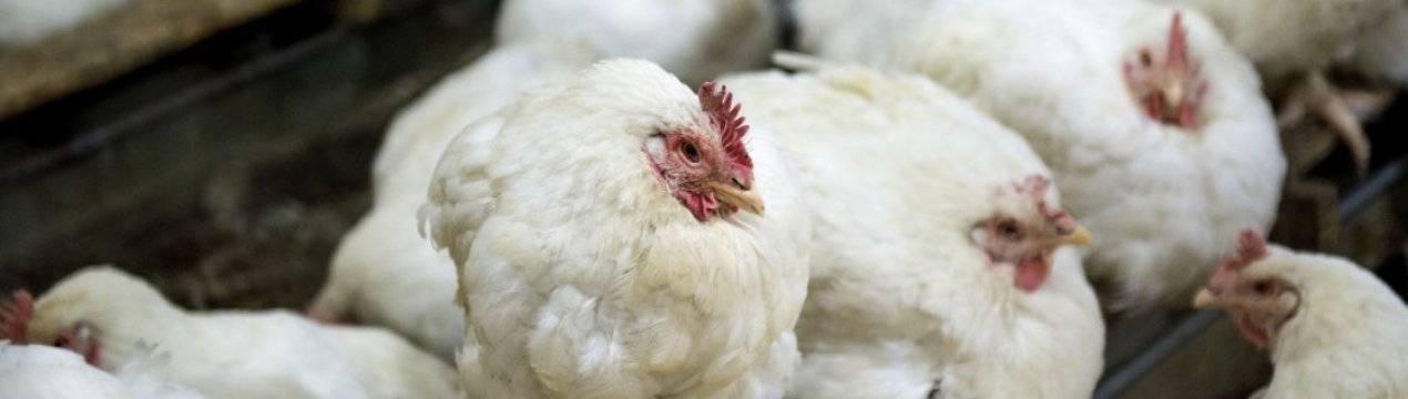 Почему бройлеры чихают и хрипят: чем лечить больных цыплят, профилактика и дезинфекция