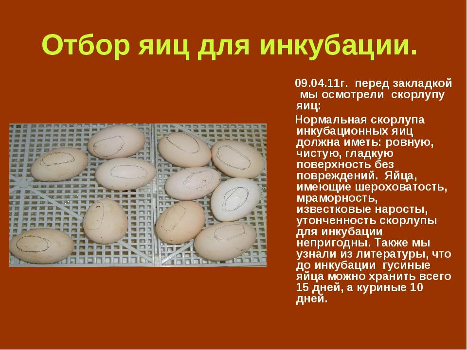 Сколько сидят гуси на яйцах — описываем детально