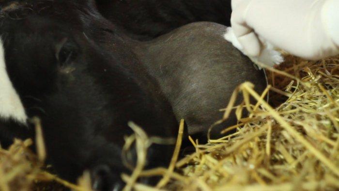 Как лечить абсцесс у коровы