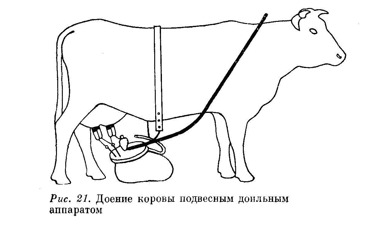 Как доить корову руками?