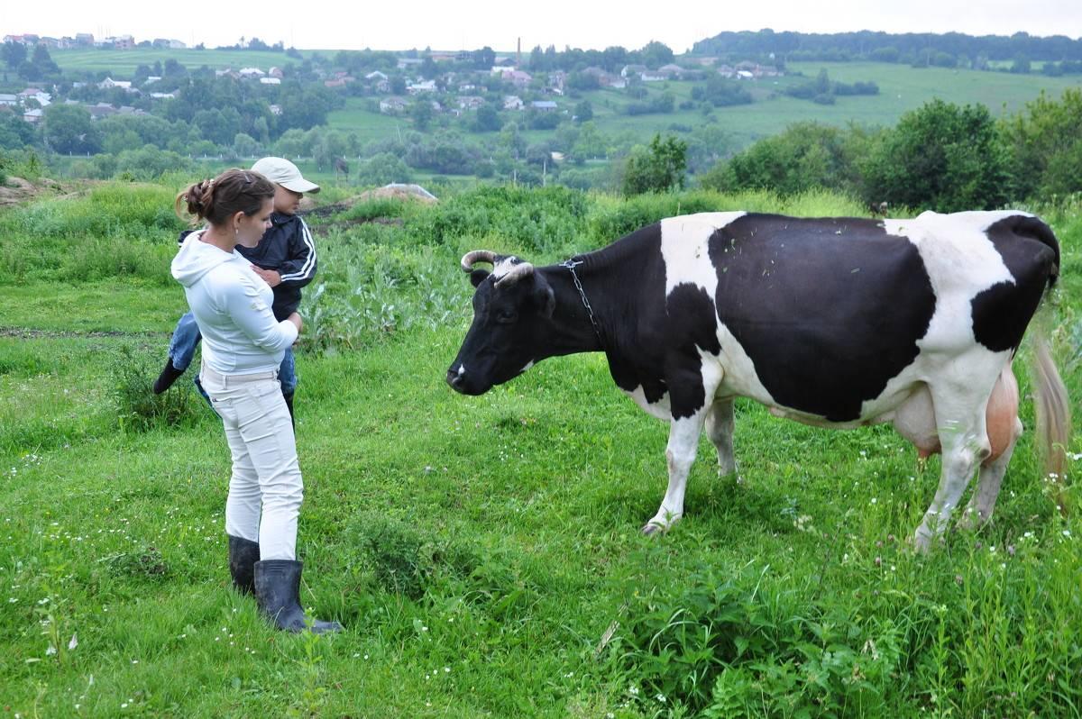 У коровы пропало молоко: причины и методы решения