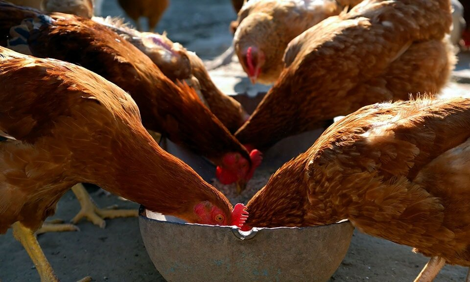 Сколько живет курица: домашняя, несушка, бройлерная
