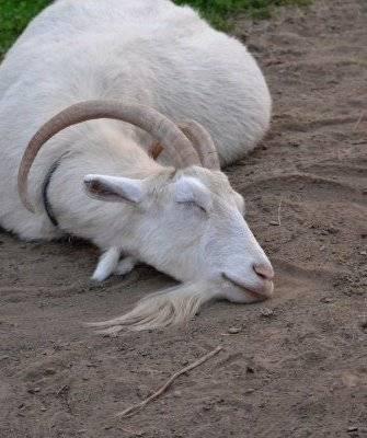 Болезни коз - препараты для лечения и грамотный уход за козами (90 фото + видео)