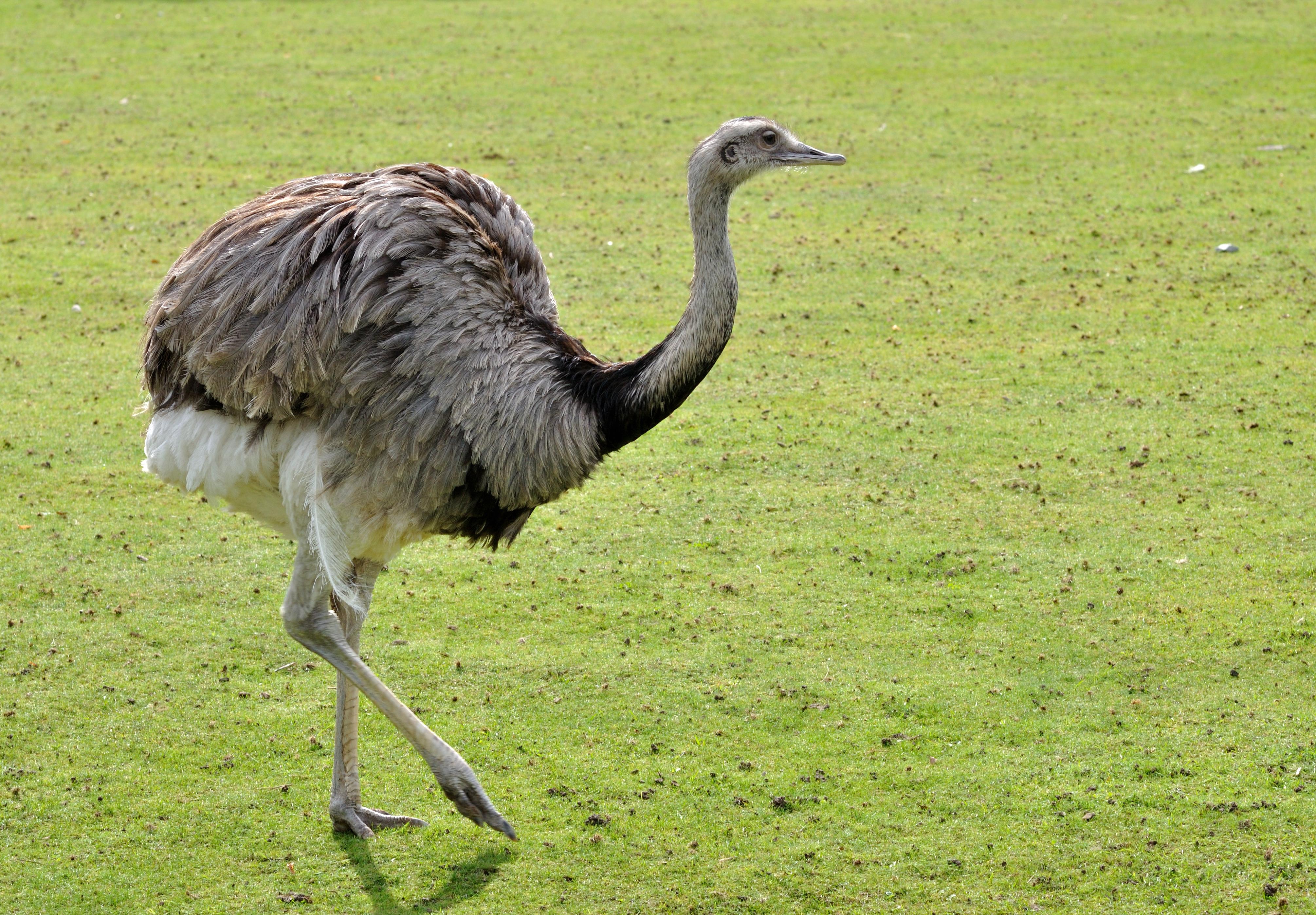 Нанду — страус южноамериканский, где обитает данная разновидность птицы?