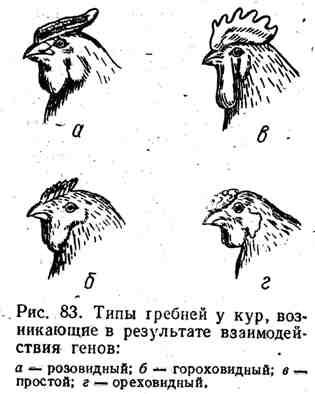 Как определить возраст курицы: способы отличить старую особь от молодой