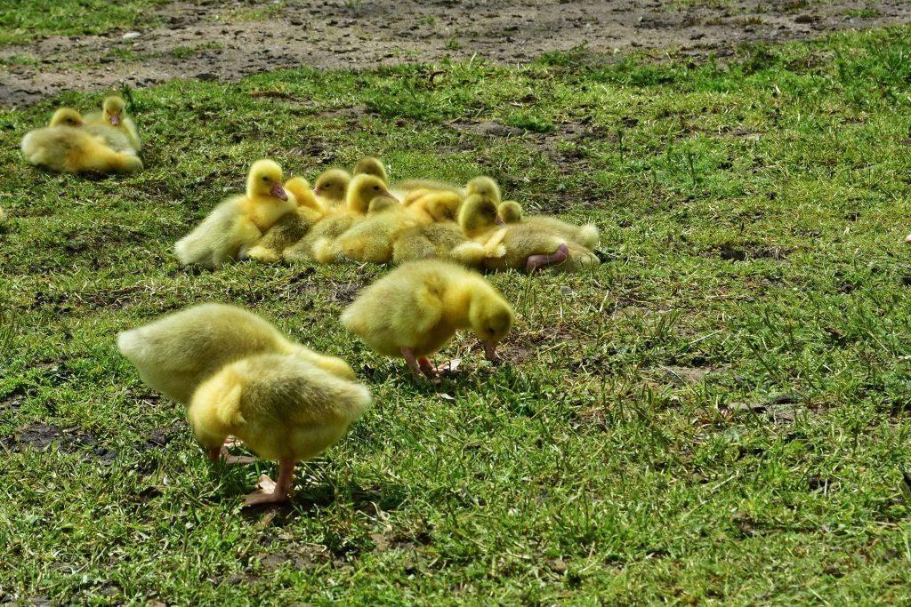 Утята падают на ноги и дохнут — причины и лечение