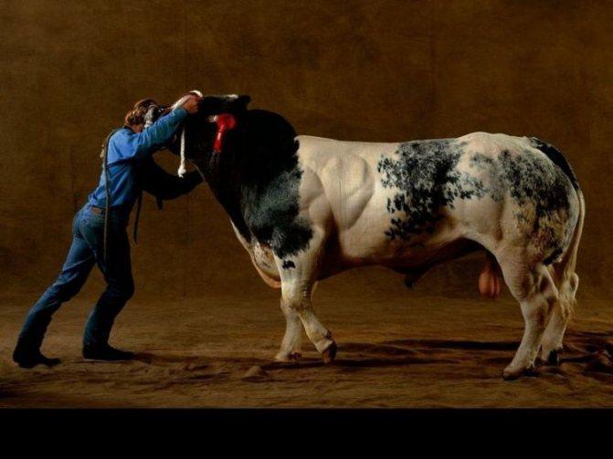 Бельгийская голубая корова: описание породы, быки мутанты