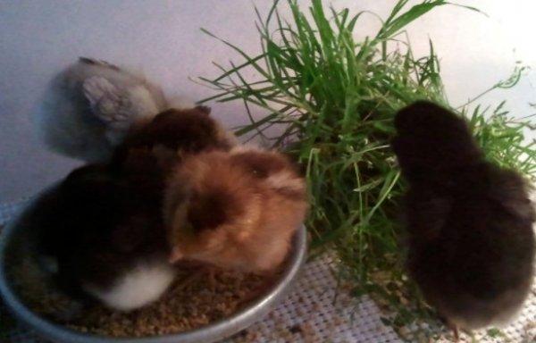 Зелень и трава цыплятам – какую и когда можно давать, как скармливать | курочка | яндекс дзен