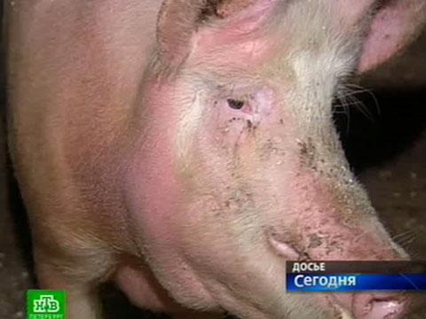 Африканская чума свиней - признаки заражения, уничтожение зараженного поголовья и дезинфекция свинарника (120 фото)
