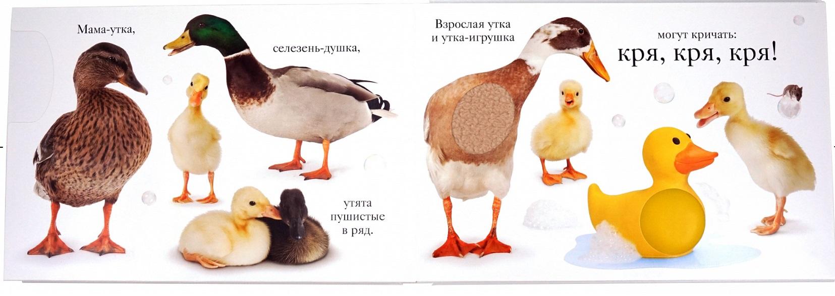 Как отличить селезня от утки: основные методы, полезные советы и видео