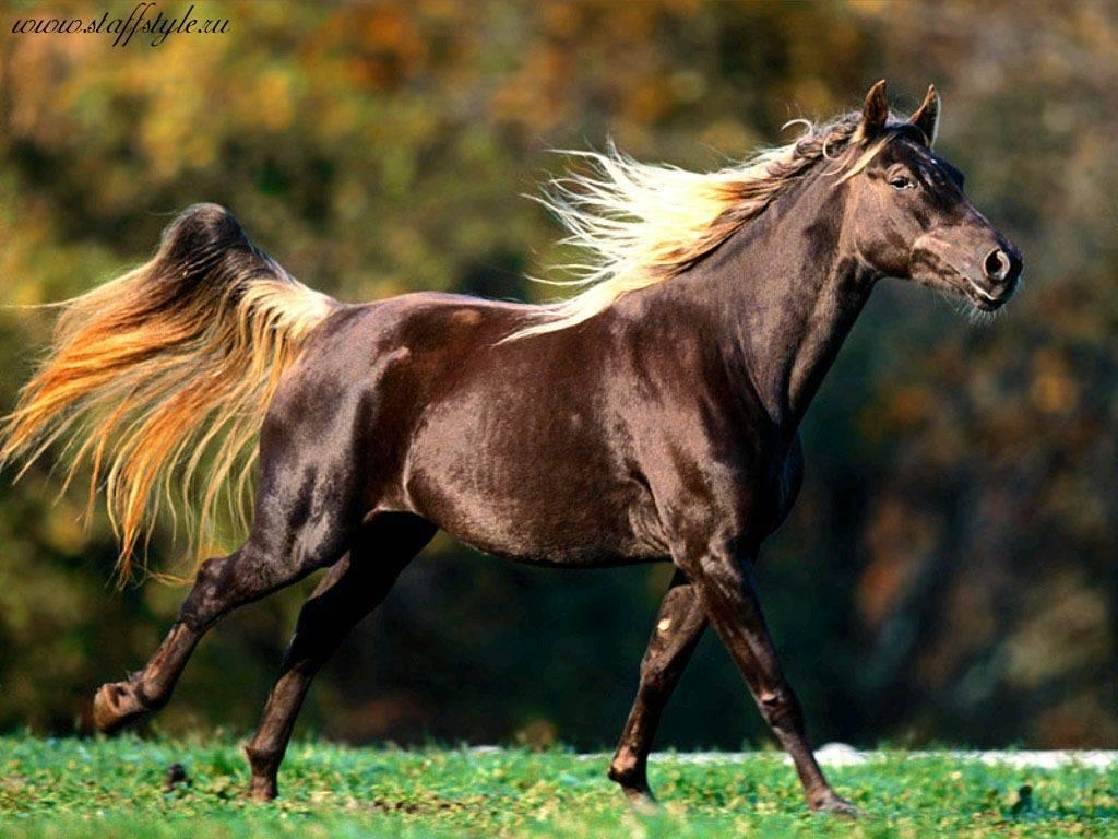 Мустанг (дикая лошадь)– описание, как выглядит, где обитает, фото