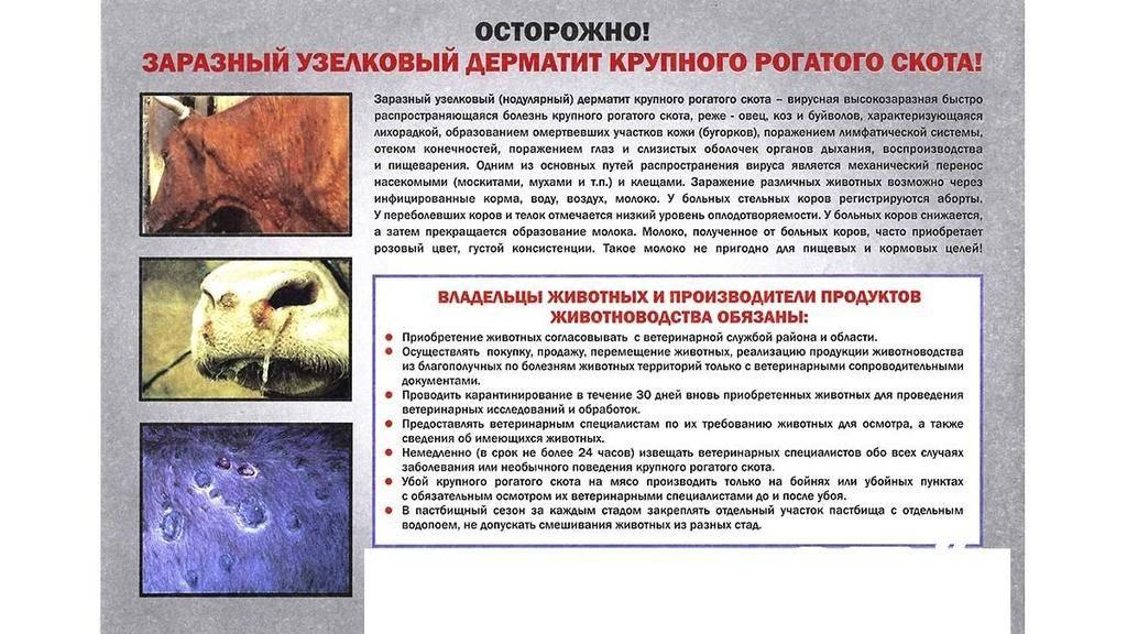 Нодулярный дерматит крупного рогатого скота: фото, лечение