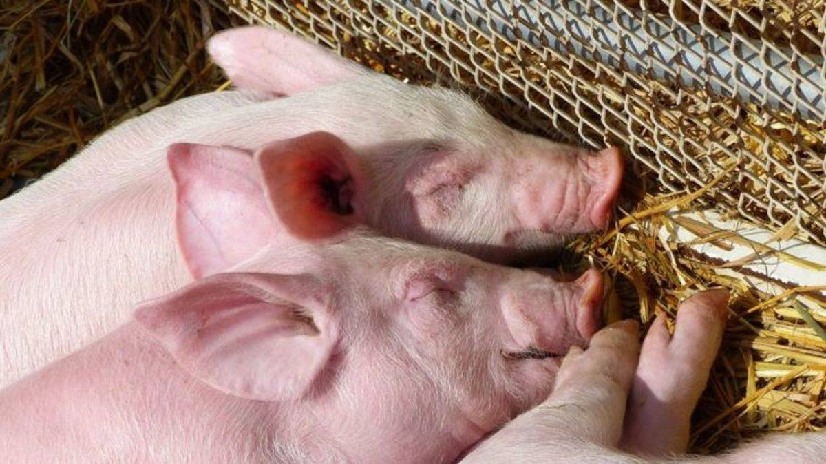 Из-за чего у поросенка может опухнуть нога? | фермер у поросенка опухла нога — какие заболевания могут вызвать такой симптом? | фермер