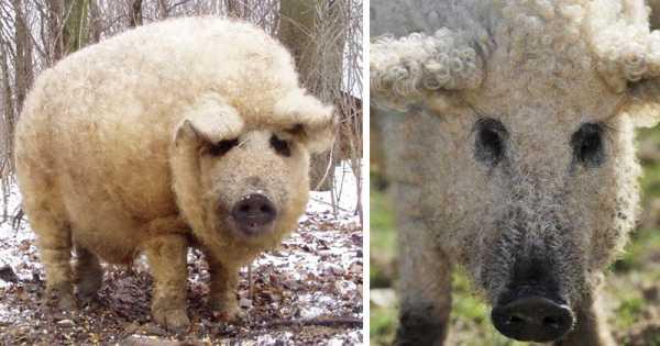 Крупная белая порода свиней: характеристика, виды, содержание