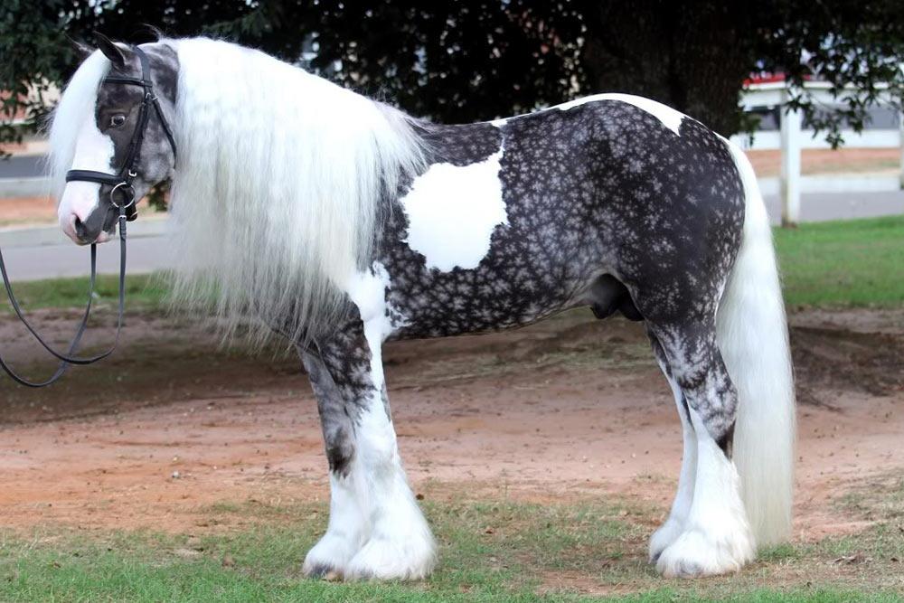 Булонская порода лошадей: история, описание, характер | мои лошадки