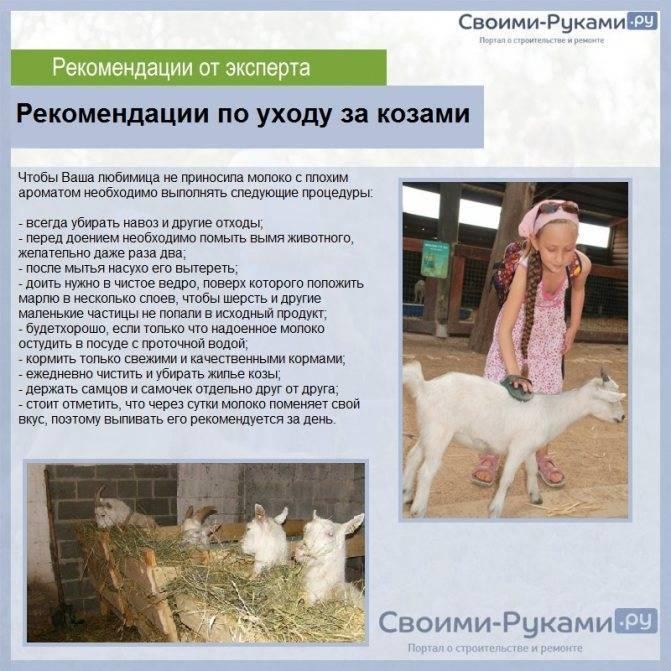 Об альпийской козе: описание породы, сколько дает молока, общая характеристика