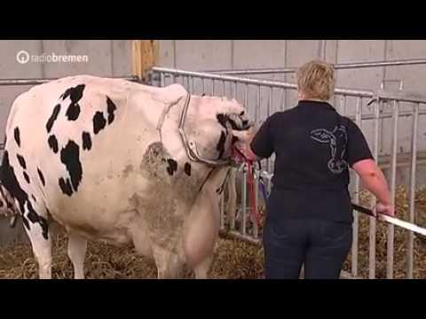 Узнаем как принимать роды у коров?
