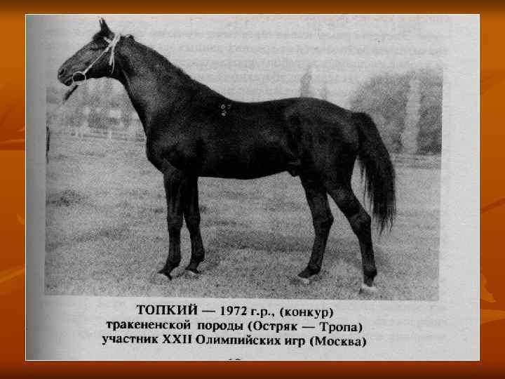 Тракененская порода лошадей: происхождение, характеристика 2020
