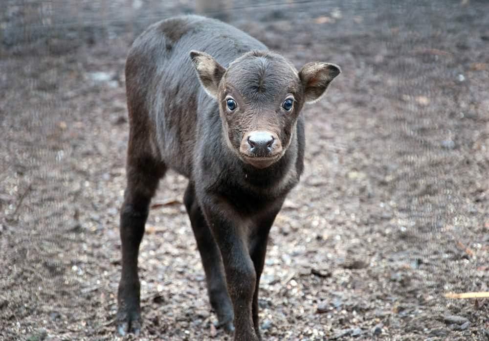 Самый маленький буйвол 4 буквы сканворд. карликовые или мини буйволы