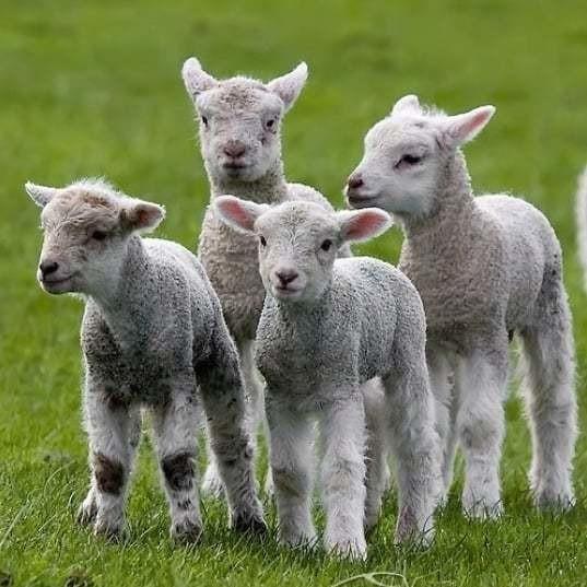 Как называют детеныша овцы и барана, отличия и особенности этих малышей