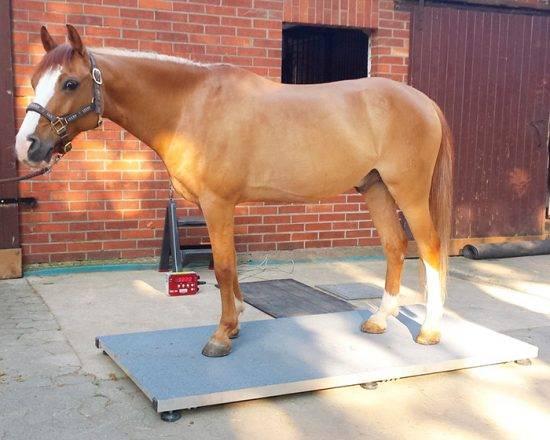 Сколько весит лошадь: вес и степень упитанности, средний вес по породам и вычисление массы