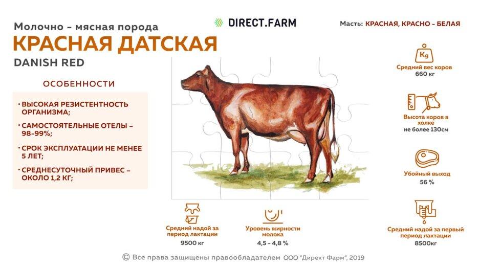 Мясо коровы (говядина) - особенности производства и нормы выращивания коров для мяса (видео + фото)