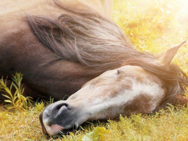 Как спят лошади: особенности отдыха и сна, интересные факты