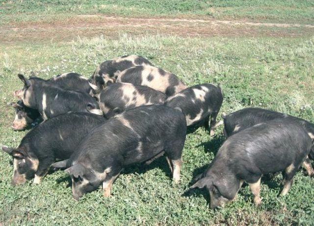 выращивание свиней в домашних условиях как бизнес - подробное описание