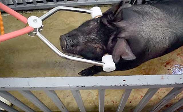 Как зарезать свинью — обзор способов забоя