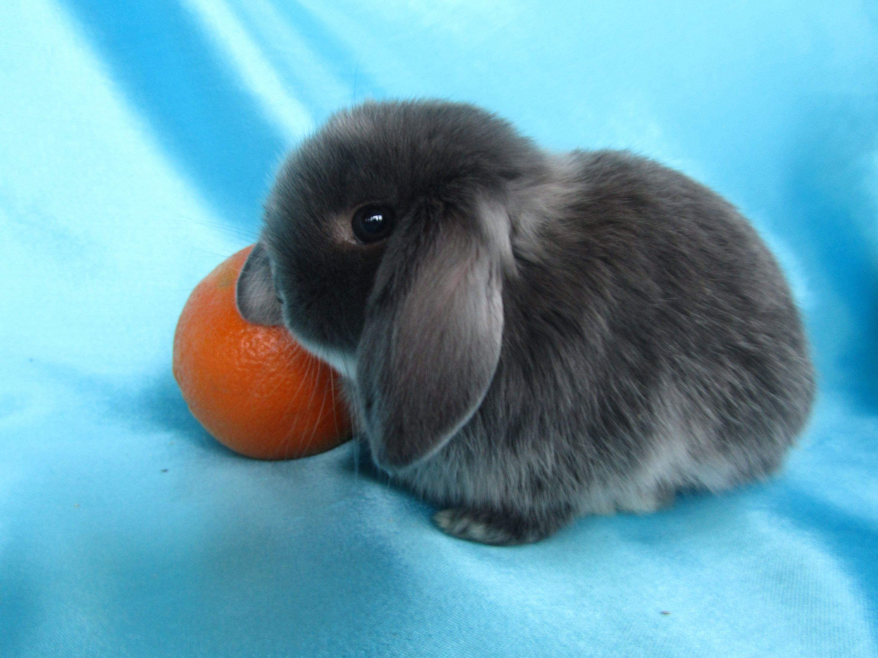 Декоративный вислоухий кролик — описание, правильное содержание и уход
