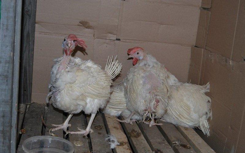 Почему и что делать, если у кур и цыплят бройлеров выпадают перья на спине