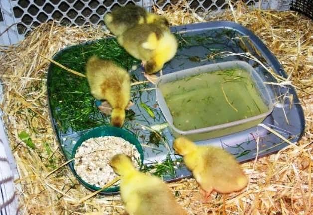 Чем кормить гусят в первые дни жизни в домашних условиях
