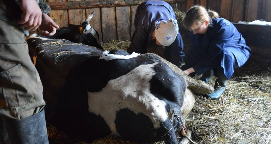 Чем опасен послеродовой парез у коров что нужно знать