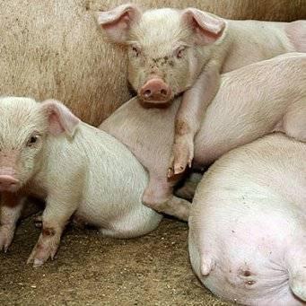 Уши свиньи болезни ушей у свиней