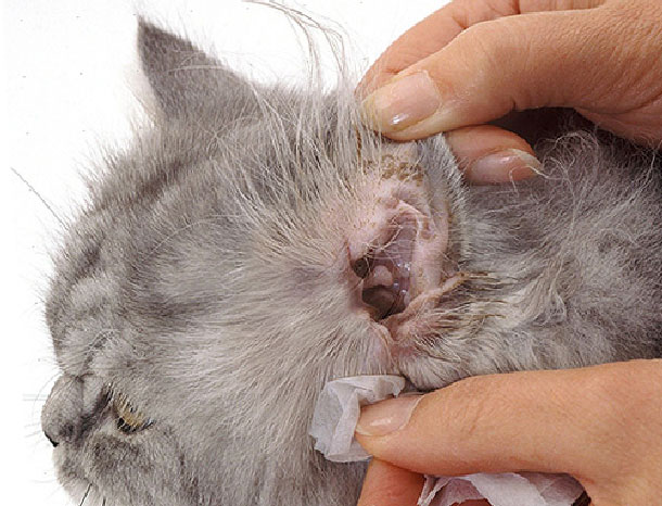 Ушной клещ у кроликов и его лечение в домашних условиях народными средствами