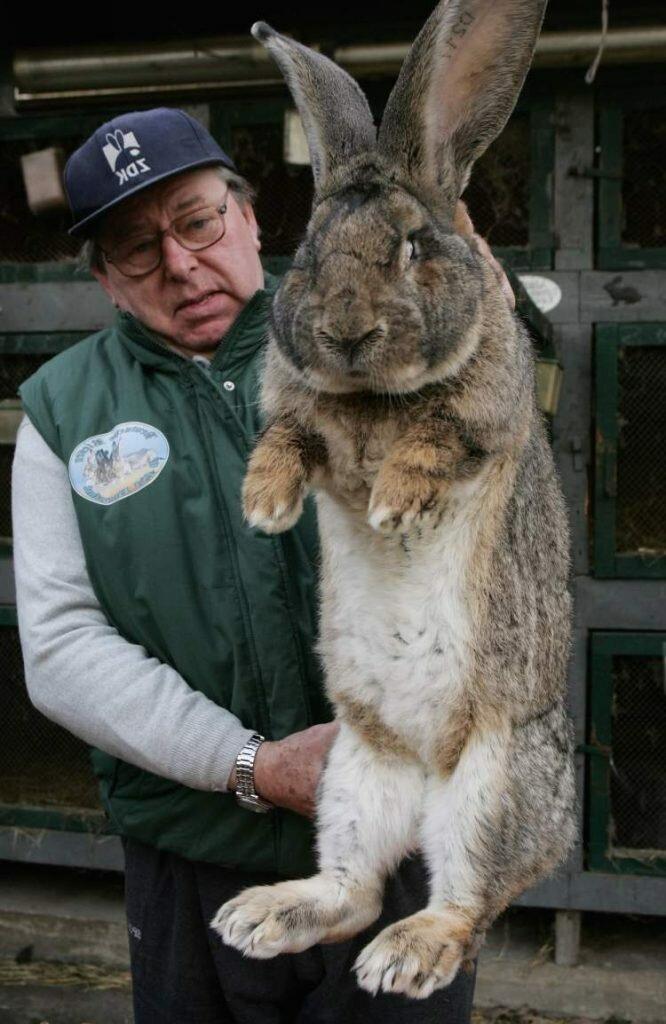 Самые большие кролики — сколько весит самая крупная порода кроликов