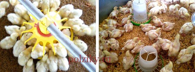 Бройлеры выращивание в домашних условиях, кормление