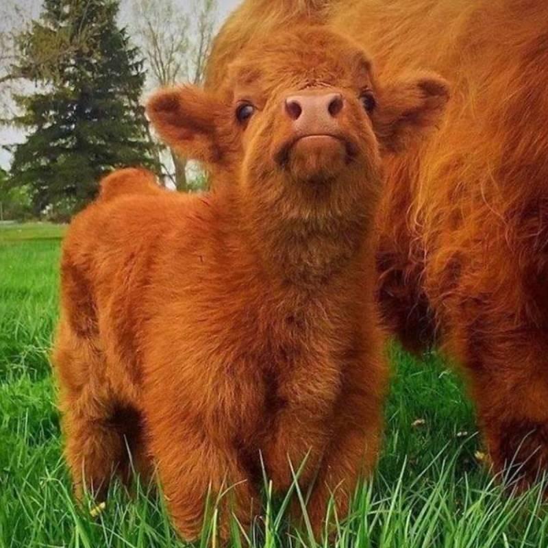 Плюшевая корова (24 фото): характеристика карликовой породы и особенности ее содержания. где они обитают?