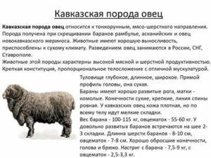 О гиссарской породе овец: характеристика, содержание и разведение баранов