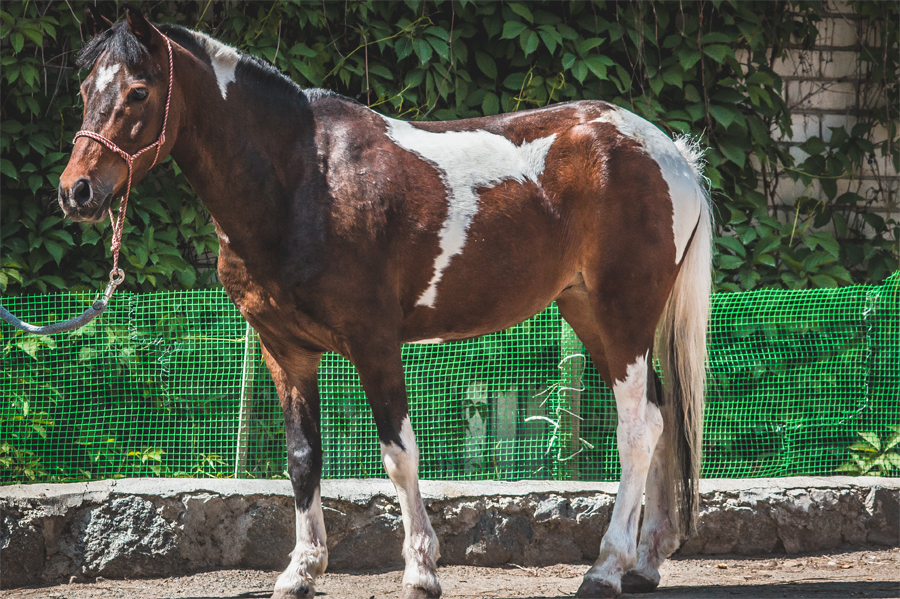 Характеристика пегой лошади