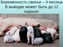 Как проходит беременность у свиней