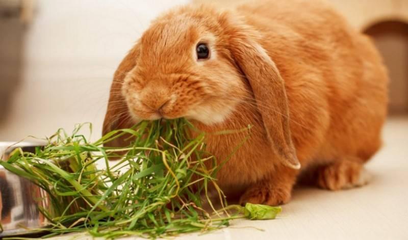Можно ли кроликов кормить горчицей – telegraph